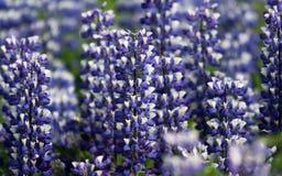 лето spectacular lupines Исландии Стоковая Фотография