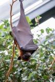 Летучая мышь в зоопарке стоковая фотография rf