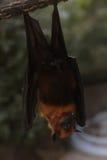 Летучая мышь в сафари Стоковая Фотография