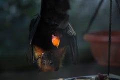 Летучая мышь в сафари Стоковое фото RF