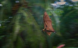 Летучая мышь летая Стоковые Изображения RF