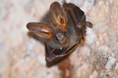 Летучая мышь млекопитающаяся и звонки Стоковая Фотография RF