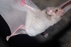 Летучая мышь млекопитающаяся и звонки Стоковое фото RF