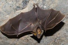 Летучая мышь млекопитающаяся и звонки стоковое изображение rf