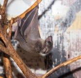 Летучая мышь на зоопарке Стоковая Фотография RF