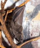 Летучая мышь на зоопарке Стоковое Изображение RF