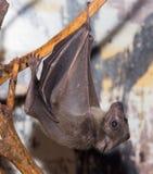 Летучая мышь на зоопарке Стоковое Изображение