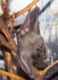 Летучая мышь на зоопарке Стоковые Изображения RF