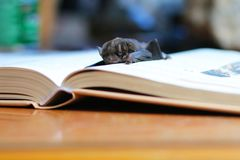 Летучая мышь на книге стоковое фото rf