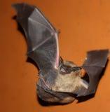 Летучая мышь на поле Стоковые Изображения RF