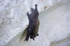 Летучая мышь на стене на день Стоковое Фото