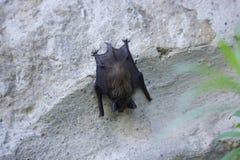 Летучая мышь на стене на день Стоковая Фотография