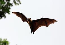 Летучая мышь плодоовощ (лиса летания) Стоковое Фото