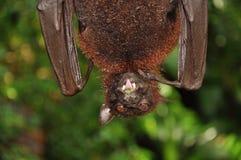 летучая мышь Стоковое фото RF