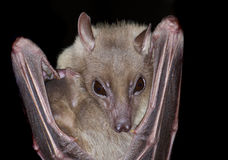 летучая мышь Стоковое Фото