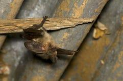 летучая мышь Стоковая Фотография RF