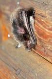 Летучая мышь Стоковое Изображение