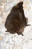 Летучая мышь barbastelle, barbastellus Barbastella Стоковые Изображения