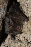 Летучая мышь barbastelle, barbastellus Barbastella Стоковая Фотография RF
