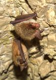 Летучая мышь Bechstein (bechsteinii Myotis) Стоковые Изображения