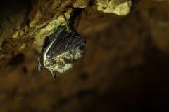 Летучая мышь & x28; Chiroptera& x29; Стоковые Фотографии RF