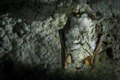 Летучая мышь & x28; Chiroptera& x29; Стоковые Фото