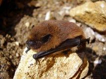 Летучая мышь Pipistrelle Стоковое фото RF