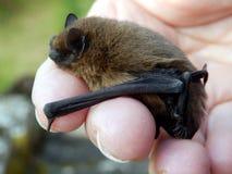 Летучая мышь Pipistrelle Стоковая Фотография