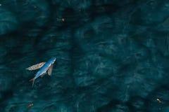 Летучая рыба на море ночи стоковое изображение rf