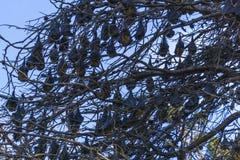 Летучие мыши как раз вися вне в дереве Стоковые Изображения RF