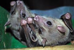 Летучие мыши плодоовощ Стоковые Изображения RF