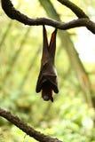 Летучие мыши плодоовощ Стоковые Фотографии RF