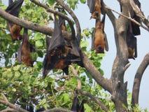 Летучие мыши плодоовощ Стоковые Фото