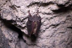 Летучие мыши спят в подземелье Подков-обнюханная летучая мышь стоковое изображение rf