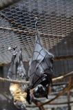 летучие мыши Стоковая Фотография RF