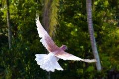 Летящая птица, голубь летая, птица голубя Стоковая Фотография RF