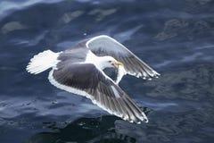 Летящая птица над морем и голубым морем стоковое изображение rf
