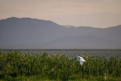 Летящая птица над тростниками озера Jipe, Кении Стоковое Фото