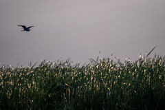 Летящая птица над тростниками озера Jipe, Кении Стоковое Изображение