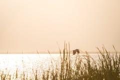 Летящая птица над тростниками озера Jipe, Кении Стоковая Фотография