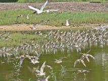 Летящие птицы в запасе заболоченного места Sungei Buloh, Сингапуре Стоковые Фотографии RF