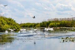 Летящие птицы и аквариумные растениа в перепаде Дуная Стоковые Изображения