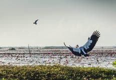 Летящие птицы на озере Phatthalung Thalenoi, Таиланде стоковые изображения rf