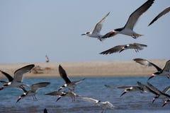 Летящие птицы, Isla Хуан Venado, Никарагуа стоковое изображение rf