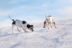 2 лет обнюхивать терьеров 12 и 9 Джек Расселов старый на снежном луге в зиме перед голубым небом стоковое изображение rf