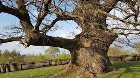 900 лет старого дуба в Румынии - самого старого дуба внутри Стоковое фото RF