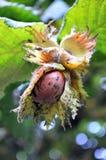 лещина Орегон стоковая фотография rf