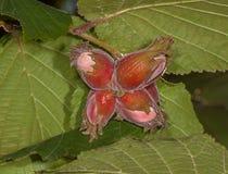 Лещина плодоовощ Стоковое Изображение