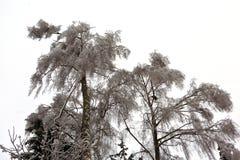 Лед дерева зимы Стоковое Изображение RF
