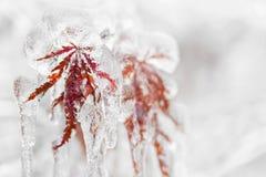 Ледистые листья зимы Стоковые Фотографии RF